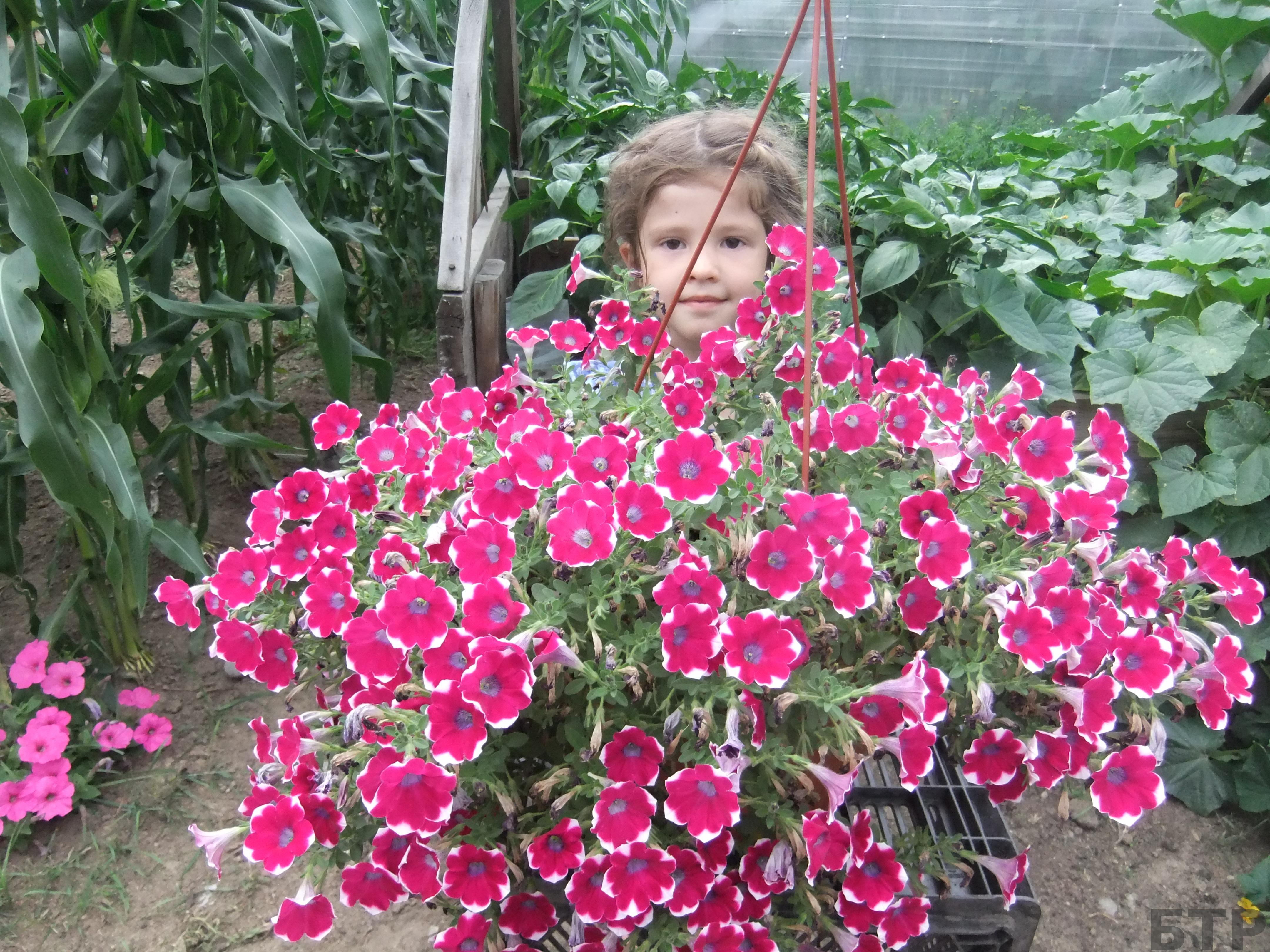 Купить садовую розы